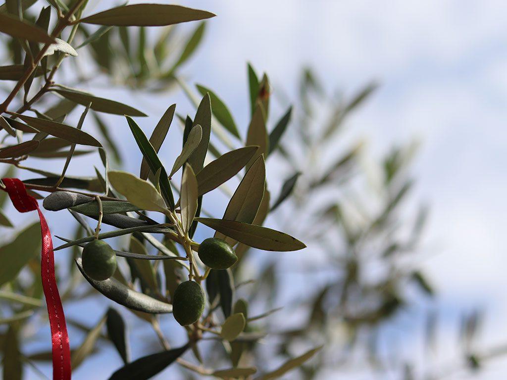 青々と茂ったオリーブの枝