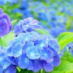 梅雨が待ち遠しい!「2019年香川県の紫陽花(あじさい)スポット10選」