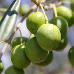 オリーブハマチ、イリコ、肉も!香川県が生んだ「美味しいオリーブ食材たち」