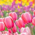香川の季節のイベントは花の楽園で「レオマ花ワールド」