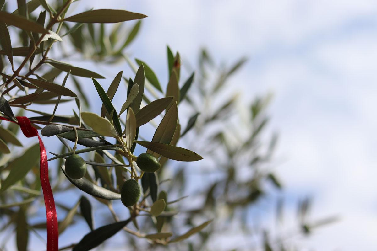 オリーブ畑の写真